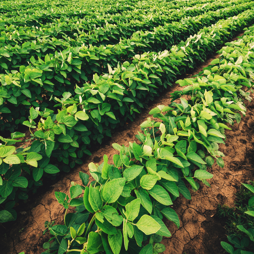Soybean Crop Insurance - Stuart Surles Insurance